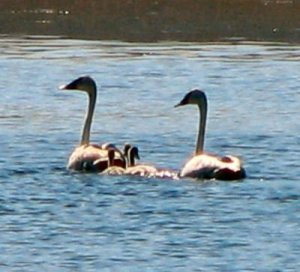 Trumpeter Swans-3 cygnets- Camas County, ID