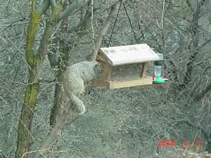 Rock squirrel VV4