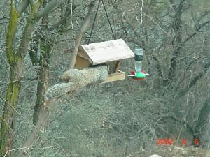 Rock squirrel VV6