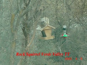 Rock squirrelVV2