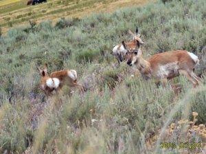 Antelope Fort Running Bear