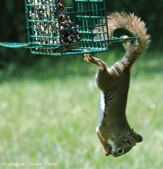 squirrel hanging