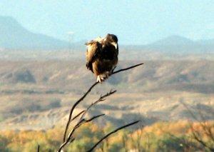 Nov 30 -rough-legged Hawk 021