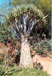 Aloe Species1 Rvierside BGjpg