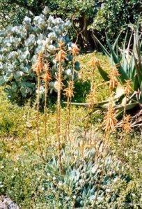 Aloe Species2 Rvierside BGjpg