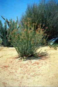 Fouquieria spcies plant RiversideBG