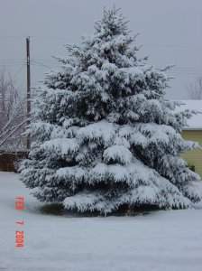 snow cover fir tree