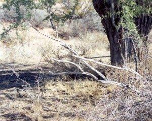 Two Mile Wash- Why, AZ5 & Cereus species