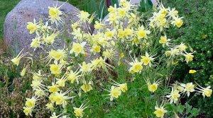 yellow aquiliga