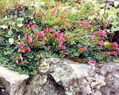 P. rupicoloa-plant