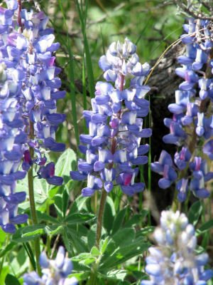 Lupine species flower