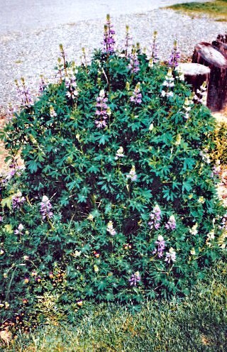 Lupinus alibcaulis -1993_kindlephoto-20355770