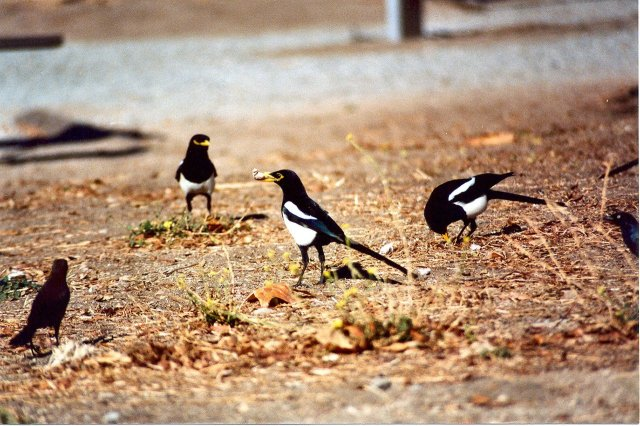 Yellow-billed Magpies- San Benito TT4, CA