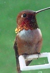 hummingbird rufous_kindlephoto-3701644