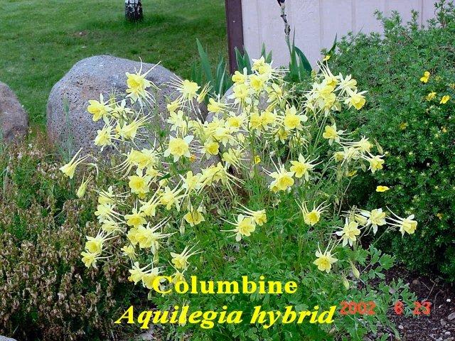 Aquilegia hybrid6
