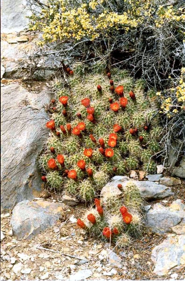 Echinocecrus mohavensis & Purshia glandulosa