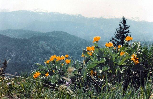 Balzamorhiza sagittata - June 4, 1983 APS meeting Leavenworth