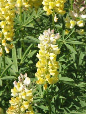 Closeup of Yellow Lupine