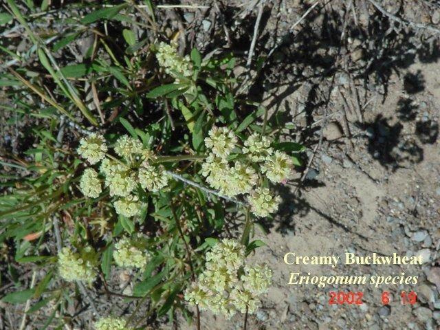 Creamy Buckwheat2