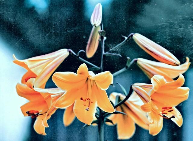 Lilies - Bonney LakeA_kindlephoto-2073558