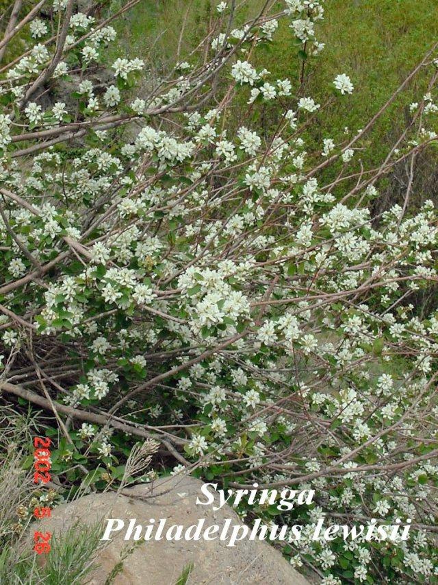 Syringa1