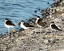 Black-necked Stilt, Salton Sea, CA_kindlephoto-16082287