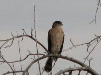 Cooper's Hawk-Middle Marsh-PNWR