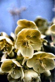 Helleborus foetidu s - flower-Bonney Lake, WA 1991