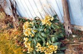 Helleborus foetidus-Bonney Lake, WA 1991