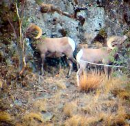 Mountain Big Horned Sheep