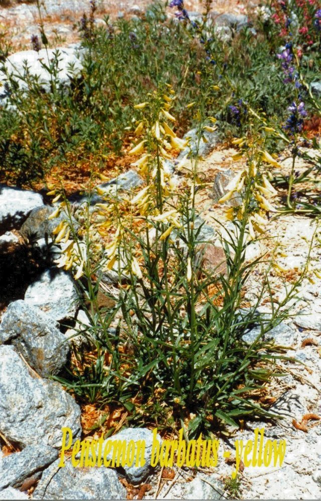 Penstemon barbatus-yellow1