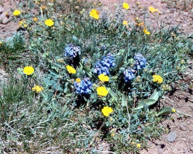 Sawtell MT - Mountain bluebells3
