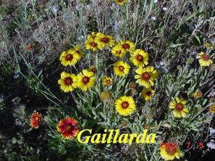 Gaillarda5