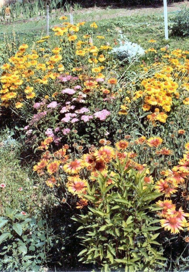 Gaillardia aristata& hybrid, Summer spirrea - Pasco, WA - 1982