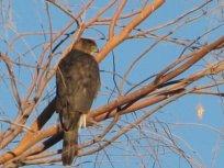 Coopr's Hawk - 2-Bouse, AZ