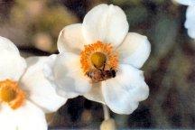Anemone huphensis 'Alba'